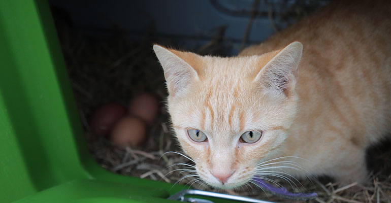 Chat poulailler Eglu Cube