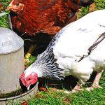 abreuvoir pour poules