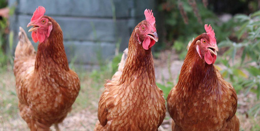 poules grand enclos Omlet