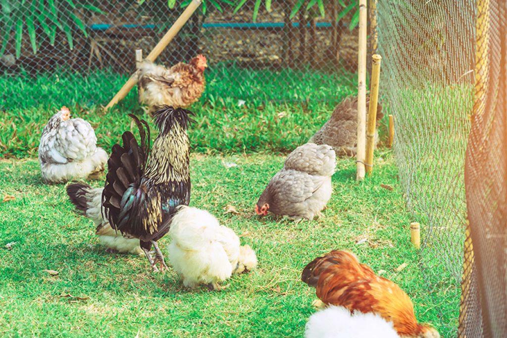 poule pondeuse ou poule d'ornement